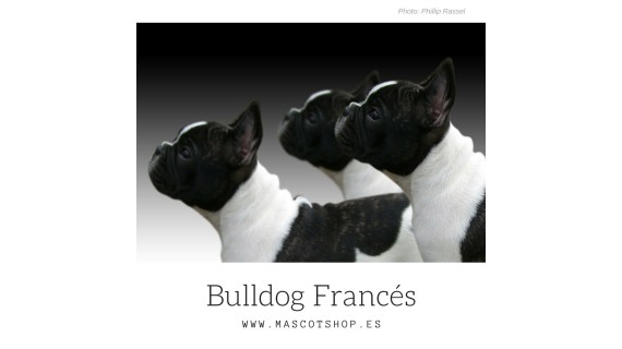 Everything you did not know about the FRENCH BULLDOG